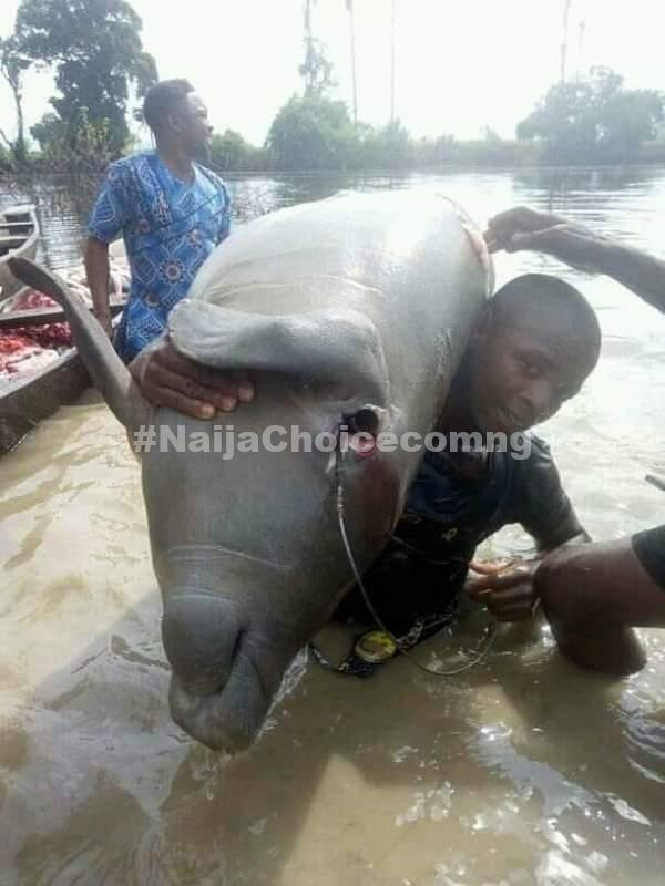 Huge Manatee Killed By Residents In Taraba State (Photos)